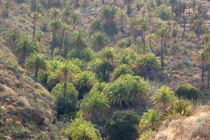 Precioso palmeral en La Gomera