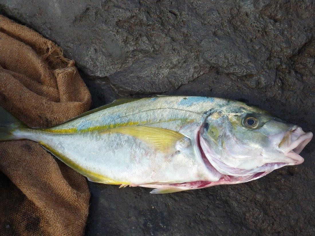Jurel pescado en Canarias