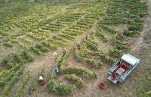 Cosechando vinos en Canarias