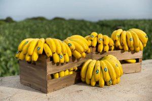 Manojos ya maduros de plátanos de Canarias