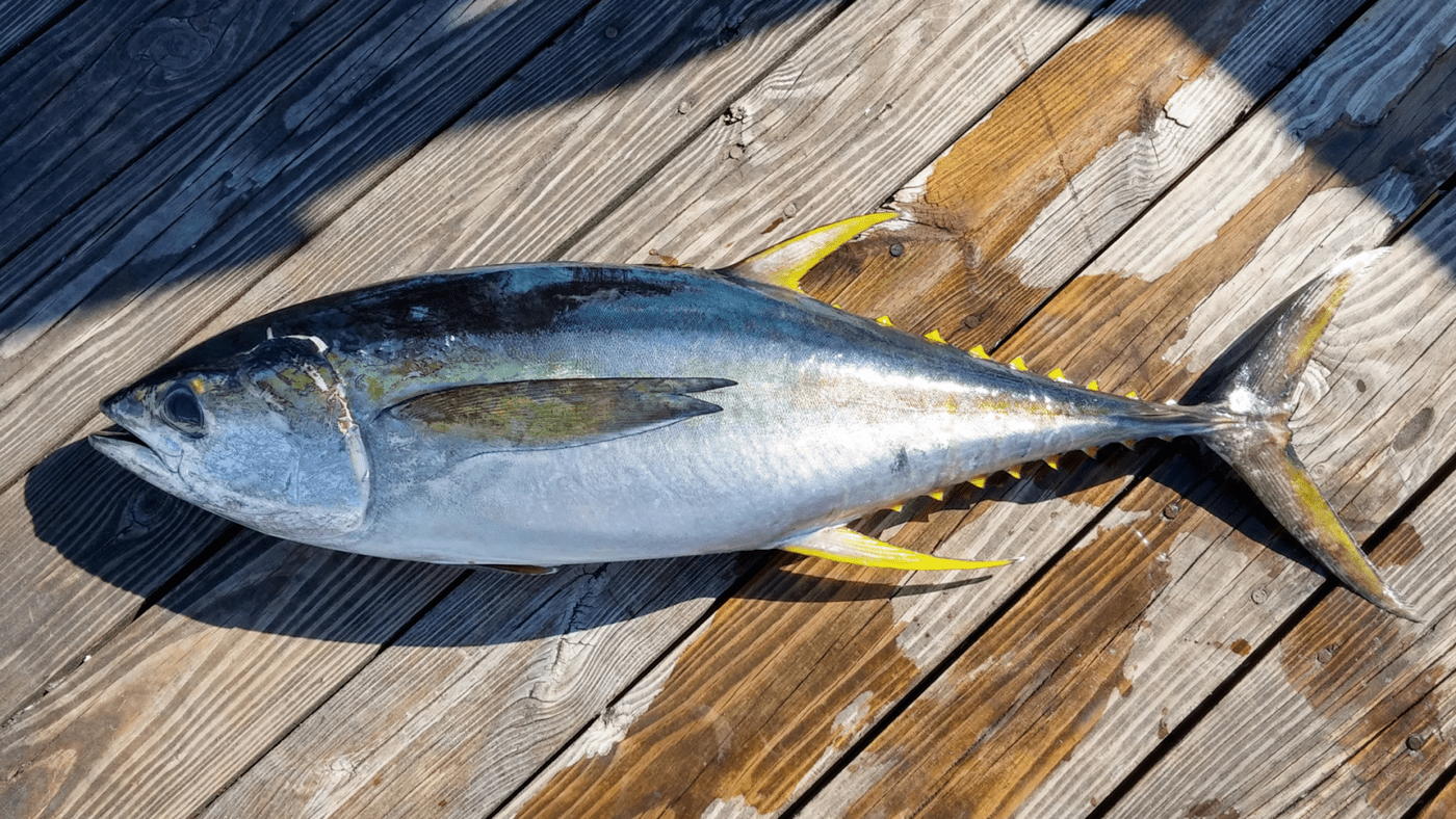 Rabil o atún de aleta amarilla, un sabroso pescado canario