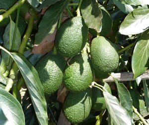 Frutas tropicales canarias el aguacate