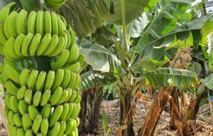 Frutas tropicales canarias el plátano