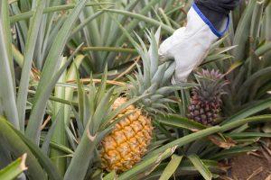 Frutas tropicales canarias la piña
