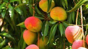 Frutas tropicales canarias el mango de La Gomera
