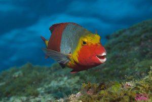 Vieja, pescado típico canario