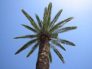 Guarapo canario, producto de la palmera canaria