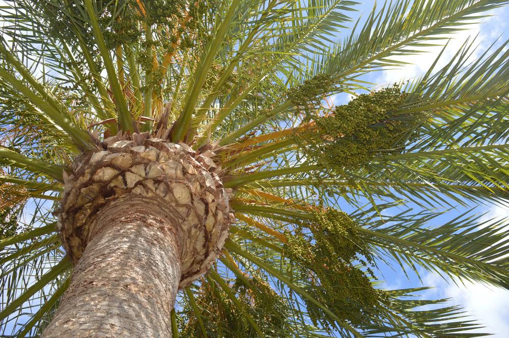 Preciosa palmera canaria