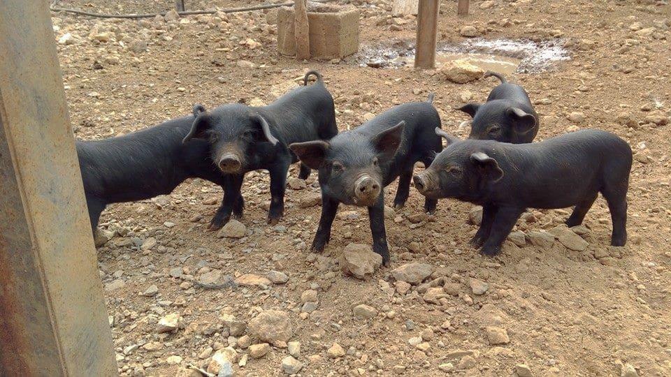 Lechones de cerdo negro canario