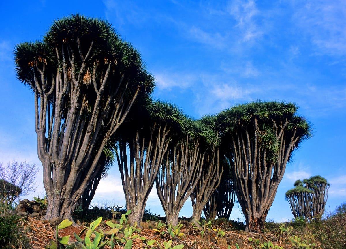 Dragos de Buracas, en La Palma