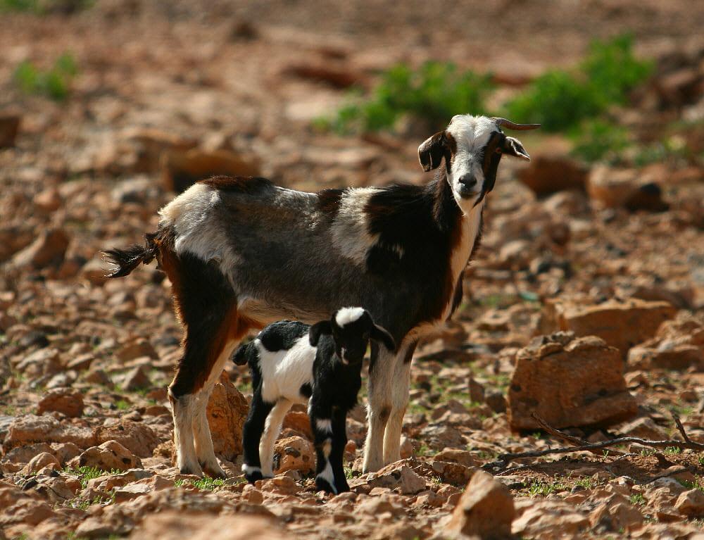 La carne de cabra canaria, especialmente en Tenerife