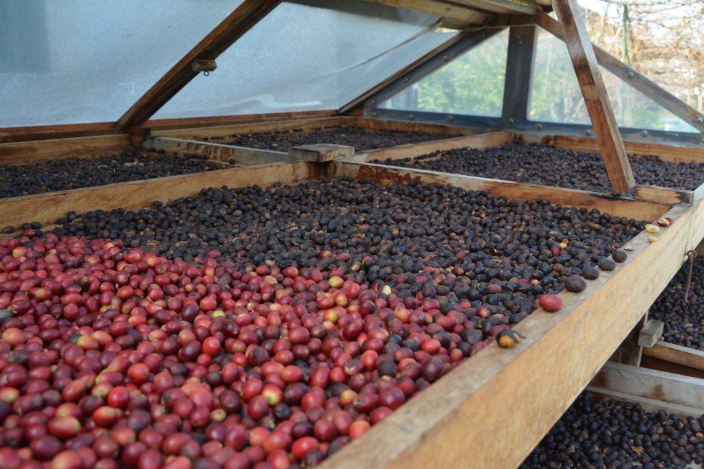 Las labores del café de Agaete