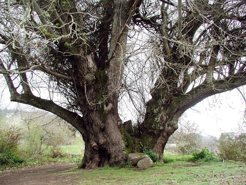 Cstaño de las siete perbnadas, La Orotava