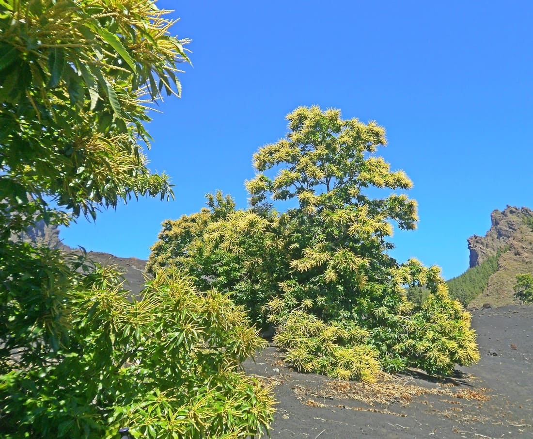 Castaños de Tenerife