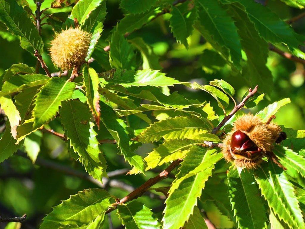 Castañas en una rama